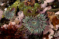 aggregating anemones, Olympic National Park